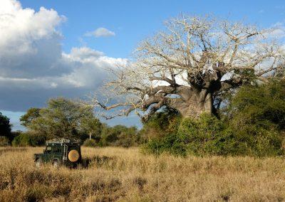 6 Zin Baobab